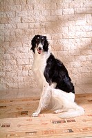canine, dog, close up, domestic animal, pet, companion, borzoi