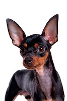Pose, domestic, companion, house pet, canines, miniature pinscher (thumbnail)