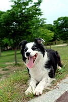 faithful, domestic animal, companion, canine, close up, border collie