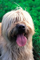 Looking camera, animal, domestic animal, shaggy dog, dog, close up, pet (thumbnail)