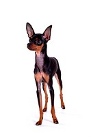 Pose, domestic, companion, house pet, canines, posed, miniature pinscher (thumbnail)