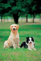 canine, 35mm, domestic animal, GoldenRetriever, BorderCollie, domestic dog, film