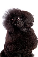 house pet, domestic, cute, loving, canines, poodle