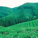 Scenery, mountain, greentea, greentea, field, background (thumbnail)