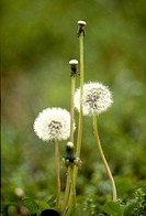 Flowers, nature, flower, danelion seed, scene, white flower, landscape (thumbnail)