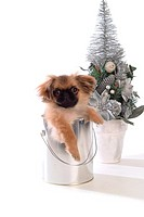 canine, pekingese, close up, domestic animal, pet, dog
