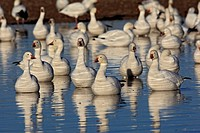 Snow Goose (Chen caerulescens), Bosque del Apache National Wildlife Refuge, New Mexico, USA