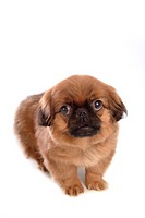 Canine, dog, close up, domestic animal, pet, companion, pekingese (thumbnail)