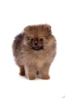 Faithful, domestic animal, companion, canine, close up, pomeranian (thumbnail)
