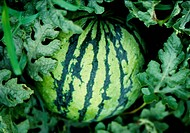Fruit, nature, plants, plant, scene, watermelon, landscape (thumbnail)