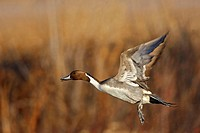 Pintail (Anas acuta), Bosque del Apache National Wildlife Refuge, New Mexico, USA