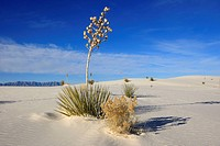 Soap tree Yucca .Yucca elata .Family: Agavaceae. White Sands in the Tularosa Basin. White Sands National Monument, New Mexico, USA. The glistening dun...