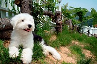 pose, sheepdog, house pet, canines, domestic, posed, old english sheepdog