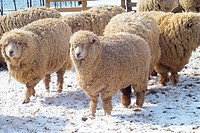 Seasons, sheep, fence, ranch, outdoors, winter, animal (thumbnail)