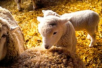 mammal, sheep, barn, dried grass, hay, domestic animal, animal