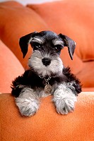 Loving, schnauzer, puppy, canines, domestic, miniature schnauzer (thumbnail)