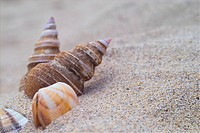 Beach, conch, sea, natural, sand, animal, shellfish (thumbnail)