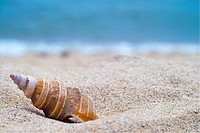 mollusc, sand, mollusks, mollusk, animal, mollucca, conch