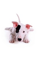 Pose, terrier, house pet, canines, domestic, posed, bull terrier (thumbnail)