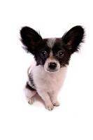 faithful, domestic animal, companion, canine, close up, papillon