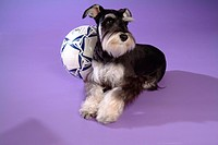 Pose, schnauzer, house pet, canines, domestic, posed, miniature schnauzer (thumbnail)