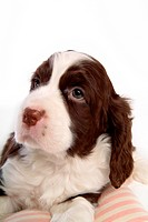 house pet, springer spaniel, canines, domestic, spaniel, english springer spaniel