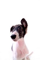 faithful, domestic animal, companion, canine, close up, borzoi