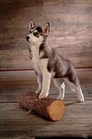 cute, husky, loving, canines, domestic, siberian husky