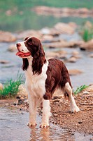 dog, 35mm, petdog, animal, springerspaniel, mammal, film