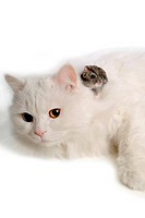 domestic, hamster, feline, rodent, turkish angora, bluesapphire