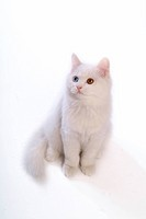feline, oddeye, domestic animal, abyssinian, turkishangora, TurkishAngora