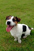 domestic animal, jack russell terrier, pet, terrier, russell, close up, dog