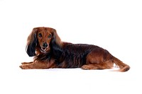Closeup, domestic animal, close up, looking camera, looking away, dachshund (thumbnail)