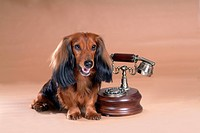 Looking away, telephone, domestic animal, antique telephone, classical telephone, dachshund (thumbnail)