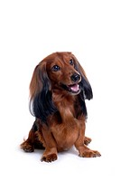 canine, domestic animal, closeup, close up, looking forward, dachshund