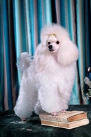 Posed, domestic, pose, house pet, canines, poodle (thumbnail)