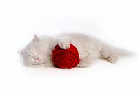 softness, turkish angora, cute, domestic cat, domestic feline, lying down, cat