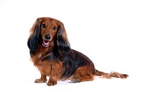 Canine, domestic animal, closeup, close up, looking camera, dachshund (thumbnail)