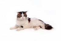 closeup, TurkishAngora, close up, domestic animal, turkishangora, companion, cat