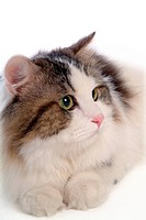 domestic animal, TurkishAngora, mammal, animal, turkishangora, feline, cat