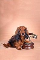 Classical telephone, animal, telephone, dachshund, dog, antique telephone, pet (thumbnail)