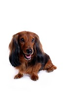 canine, domestic animal, closeup, close up, looking away, dachshund