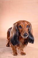 looking forward, animal, domestic animal, dachshund, dog, close up, pet