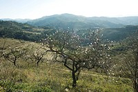 Fruit tree in blossom in countryside, mountains in background