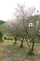 Furit trees orchard in blossom