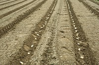 Potatoes planted in neat furrows
