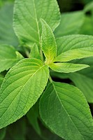 Pineapple_scented sage