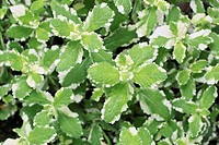 Pineapple mint (thumbnail)