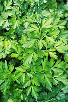 Italian parsley (thumbnail)
