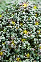 Broccoli florets, extreme close-up (thumbnail)